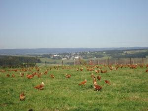 BIO-OVO prairie ferme poule bio
